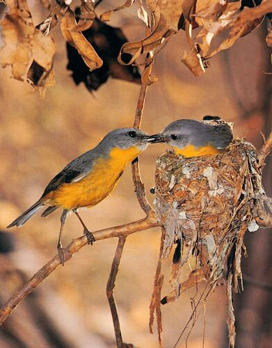 Pair of Eastern Yellow Robins.
